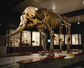 Skeleton of Asian Elephant